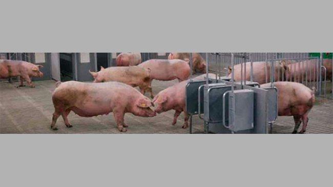 Com o objetivo de formular com precisão as rações para porcos, desenvolveram-se sistemas de alimentação que prevêem a quantidade de energia fornecida pela ração