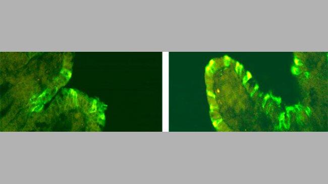Inmunofluorescencia de DEPv en cerdos inoculados con CV777