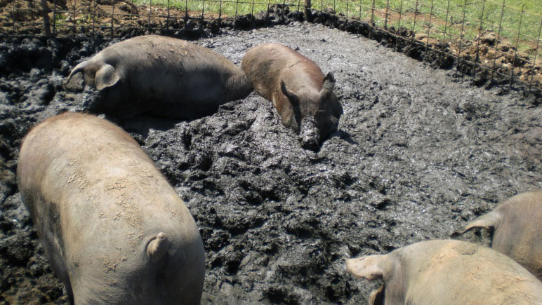 Cerdo ibérico que se crea su zona húmeda para echarse en una parcela exterior.
