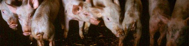 Lechones destetados con diarrea que muestran diversos grados de pérdida de peso y deshidratación.