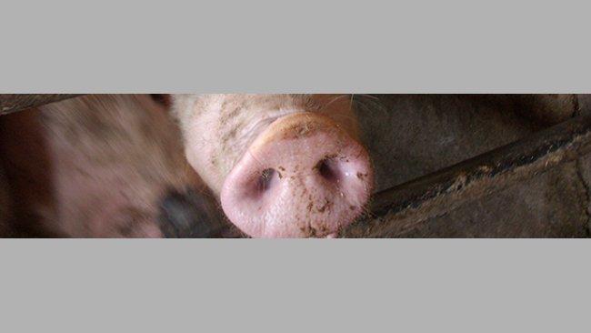 Impacto productivo de la gripe porcina