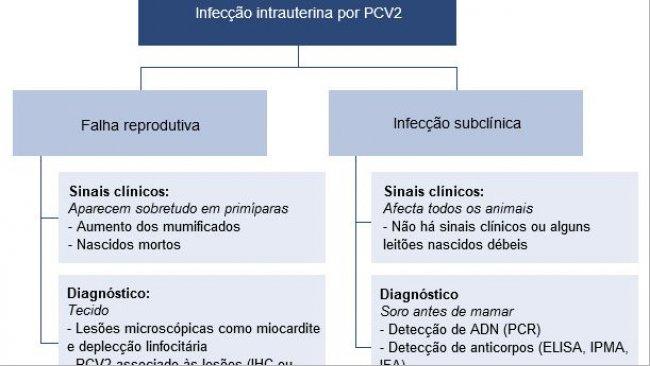 Efectos de la infección intrauterina por PCV2