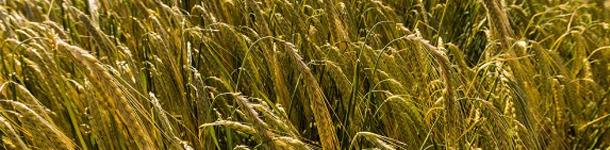 Esperando la presion de cosecha