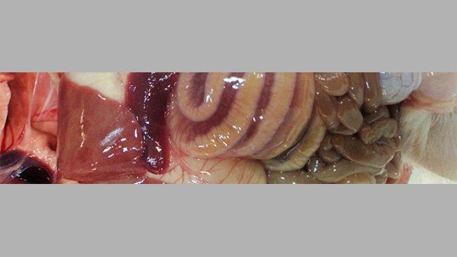 El edema de mesocolon es una lesión típica de los casos de ICD.