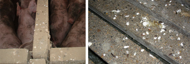 Muros con abundancia de heces de pájaros, evidencia clara de la entrada constante de aves en la nave. Detalle de suelo de cebadero contaminado con heces de aves silvestres tras su limpieza y desinfección.